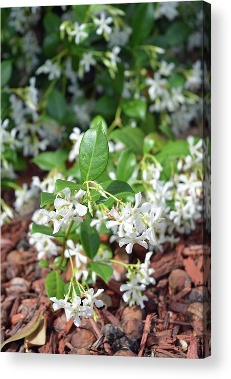 Jasmine Acrylic Print featuring the photograph Jasmine In Bloom by Aimee L Maher ALM GALLERY