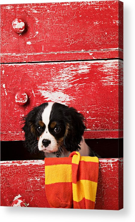 Puppy Acrylic Print featuring the photograph King Charles Cavalier Puppy by Garry Gay