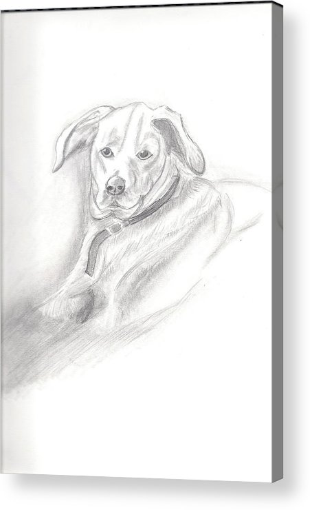 Dog Acrylic Print featuring the drawing Labrador Retreiver by Judy Moses