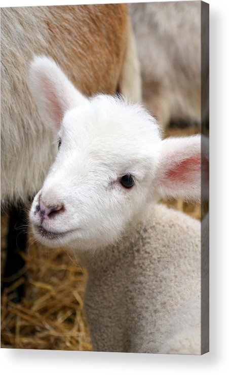 Grass Acrylic Print featuring the photograph Lamb by Michelle Calkins