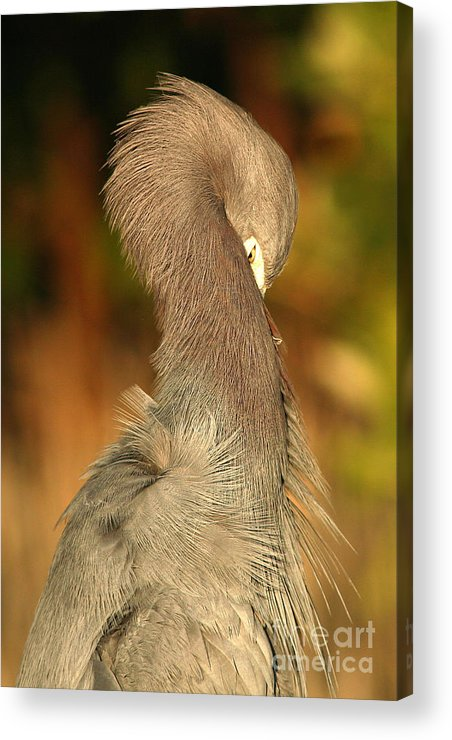 Heron Acrylic Print featuring the photograph Little Blue Heron Feeling Bashful by Max Allen