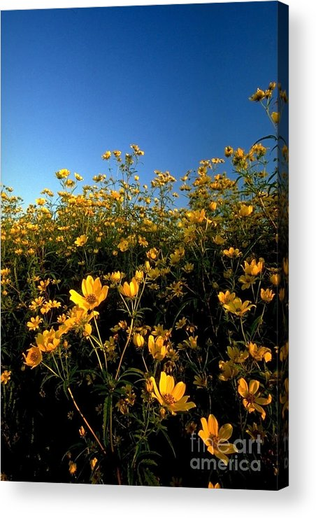 Buttercups Acrylic Print featuring the photograph Lots Of Buttercups Against A Blue Sky by Sven Brogren