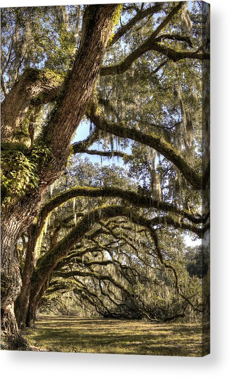 Live Oak Acrylic Print featuring the photograph Magnificant Live Oak Trees Color by Dustin K Ryan