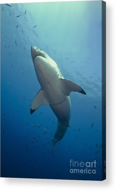Carcharodon Carcharias Acrylic Print featuring the photograph Male Great White Sharks Belly by Todd Winner