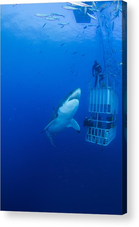 Carcharodon Carcharias Acrylic Print featuring the photograph Male Great White With Cage, Guadalupe by Todd Winner