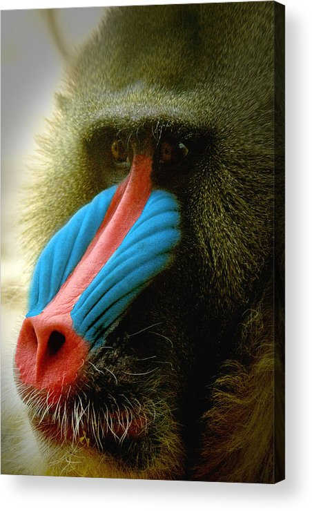 Mandrill Acrylic Print featuring the photograph Mandrill by Richard Henne