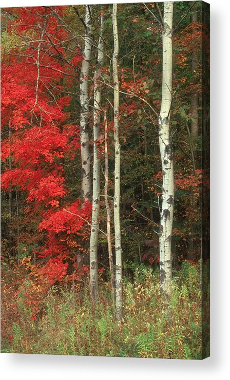 Fall Acrylic Print featuring the photograph Maple And The Birch by Raju Alagawadi