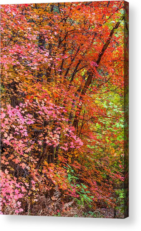 Arizona Acrylic Print featuring the photograph Maples In Pink by Jason Keefe