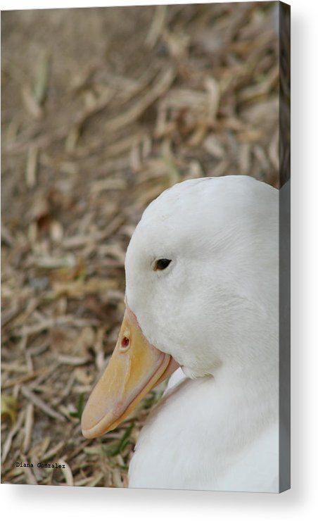 Duck Acrylic Print featuring the photograph Modest by Diana Gonzalez