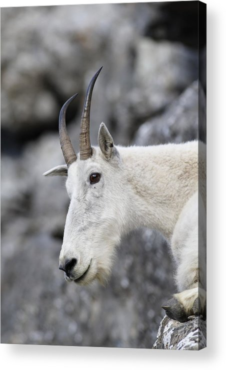 Mountain Goat Acrylic Print featuring the photograph Mountain Goat At Rest by Michael Bowland
