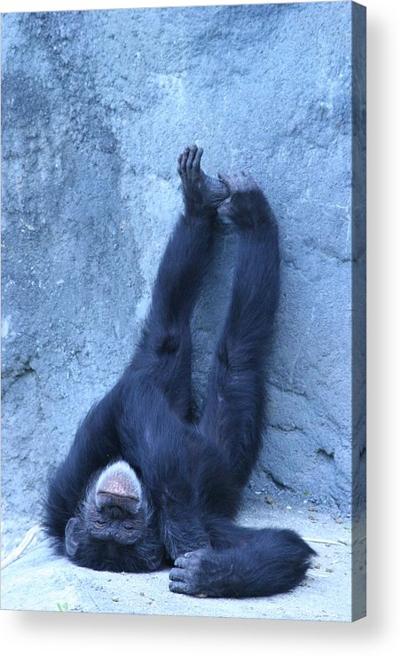 Monkey Acrylic Print featuring the photograph Nap Time by Linda Russell