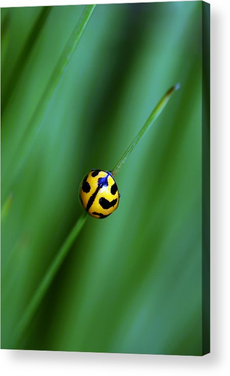Lady Beetle Acrylic Print featuring the photograph Nature's Tightrope by Lesley Smitheringale