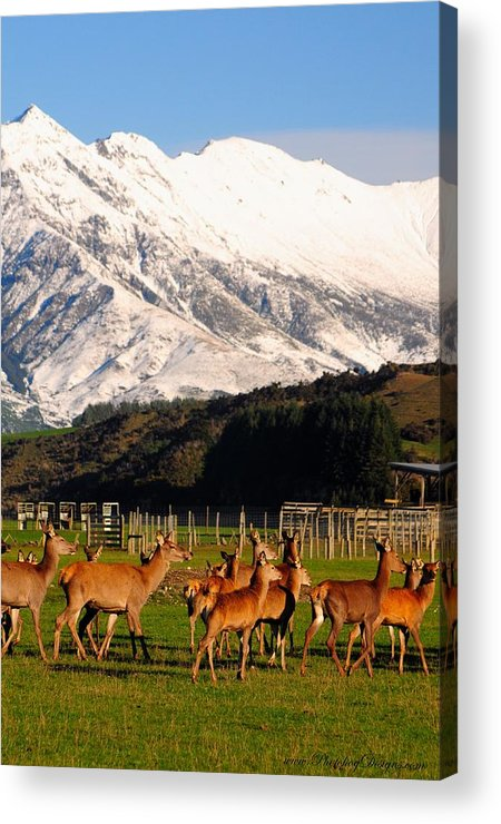 Landscape Acrylic Print featuring the photograph New Zealand Deer 3497 by PhotohogDesigns