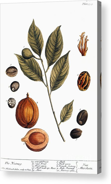 1730s Acrylic Print featuring the photograph Nutmeg, 1735 by Granger