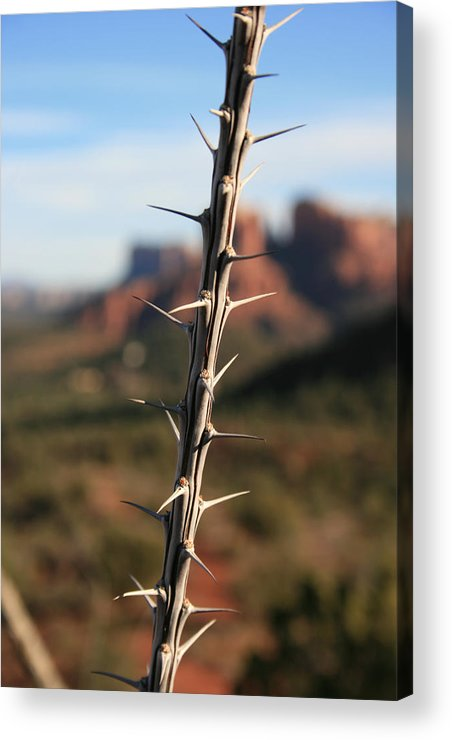 Plants Acrylic Print featuring the photograph Ocotillo Winter by Gary Kaylor