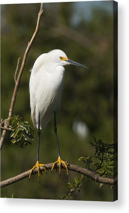 Snowy Egret Acrylic Print featuring the photograph On Balance by Chad Davis
