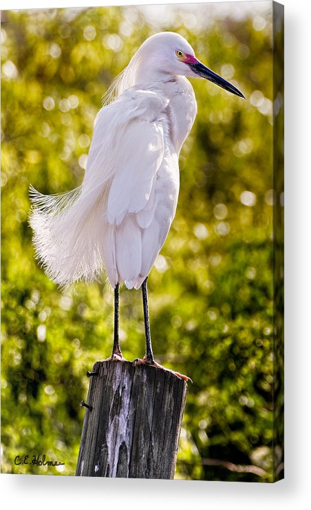 snowy Egret Acrylic Print featuring the photograph On Watch by Christopher Holmes