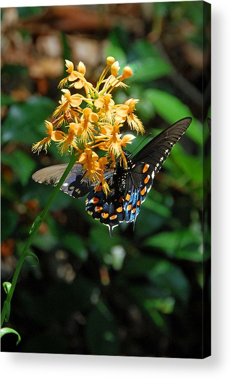 Ochid Acrylic Print featuring the photograph Orange Fringed Orchid by Alan Lenk