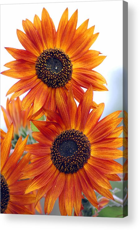 Sunflower Acrylic Print featuring the photograph Orange Sunflower 2 by Amy Fose