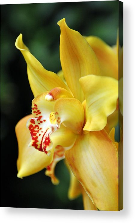 Orchid Acrylic Print featuring the photograph Orchid 24 by Marty Koch