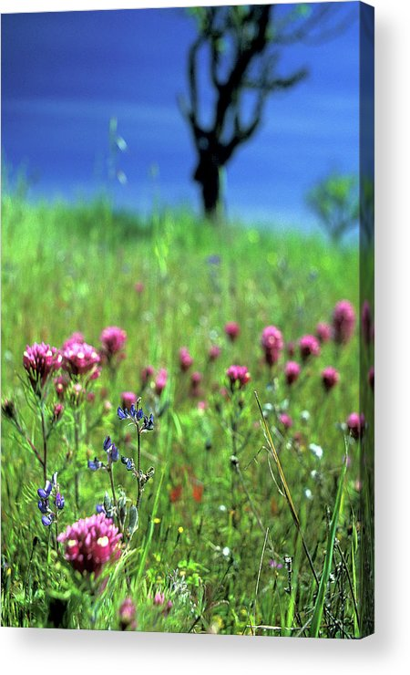 Flowers Acrylic Print featuring the photograph Owl's Clover And The Tree by Kathy Yates