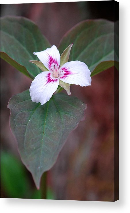 Painted Trillium Acrylic Print featuring the photograph Painted Trillium by Alan Lenk