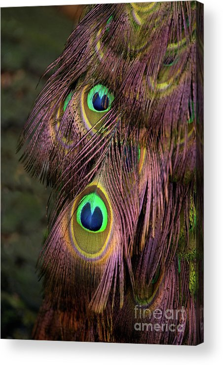 Bird Acrylic Print featuring the photograph Peacock Feathers by Rawshutterbug
