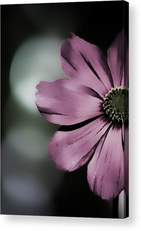 Cosmos Acrylic Print featuring the photograph Peekaboo by Bonnie Bruno