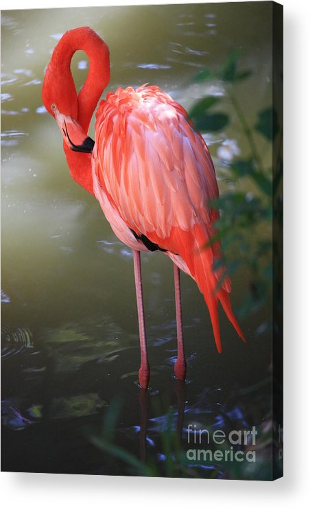 Flamingo Acrylic Print featuring the photograph Pink Flamingo by Carol Groenen