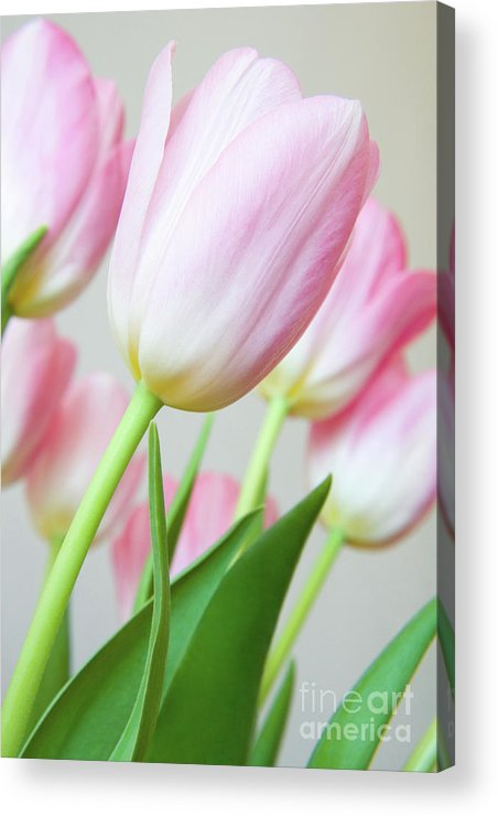 Flower Acrylic Print featuring the photograph Pink Tulip Flowers by Julia Hiebaum