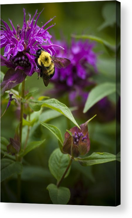 Bumble Bee Acrylic Print featuring the photograph Pollinating Bumble Bee by Chad Davis