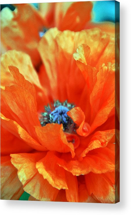 Papaver Somniferum. Opium Acrylic Print featuring the photograph Poppy by Angelina Vick