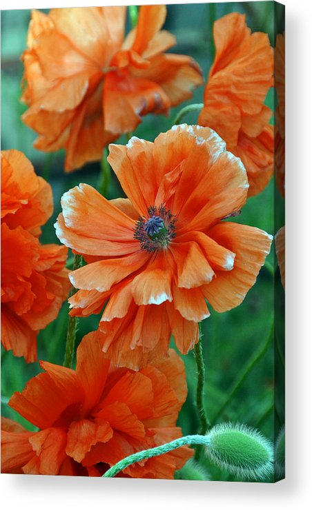 Papaver Somniferum. Opium Acrylic Print featuring the photograph Poppy Fields by Angelina Vick