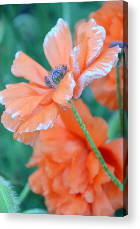 Papaver Somniferum. Opium Acrylic Print featuring the photograph Poppy Passion by Angelina Vick