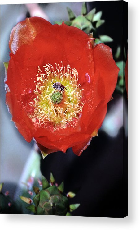 Prickly Pear Acrylic Print featuring the photograph Prickly Pear Blossom With Bee by Richard Henne