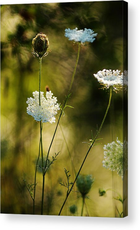 Wildflowers Acrylic Print featuring the photograph Queen Annes Waving by Linda McRae