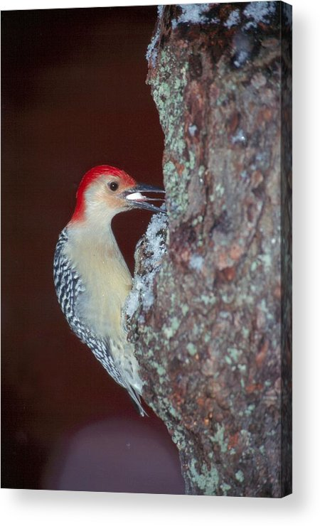 Bird Acrylic Print featuring the photograph Red-bellied Woodpecker by Raju Alagawadi