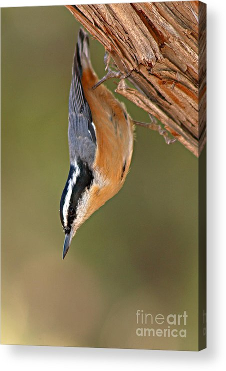 Nuthatch Acrylic Print featuring the photograph Red-breasted Nuthatch Upside Down by Max Allen