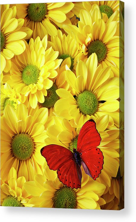 Red Butterfly Yellow Mums Flowers Acrylic Print featuring the photograph Red Butterfly On Yellow Mums by Garry Gay