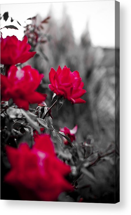 Red Acrylic Print featuring the photograph Red Roses by Dustin K Ryan