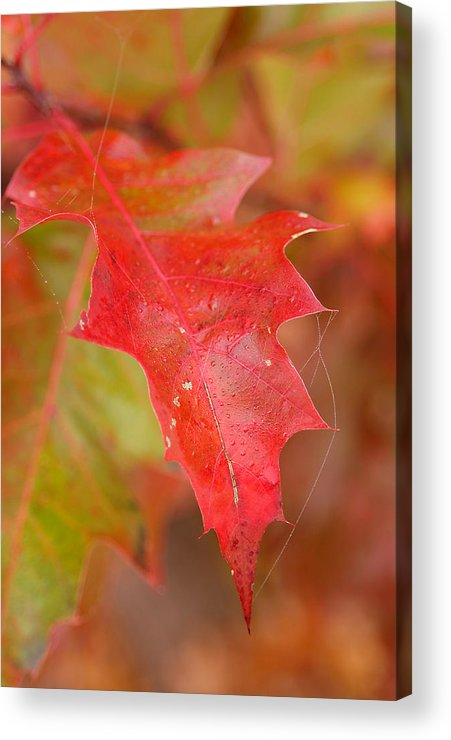 Oak Leaves Acrylic Print featuring the photograph Red Silk by Linda McRae