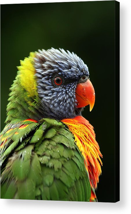 Rainbow Lorikeet Acrylic Print featuring the photograph Reflecting In The Rain by Lesley Smitheringale