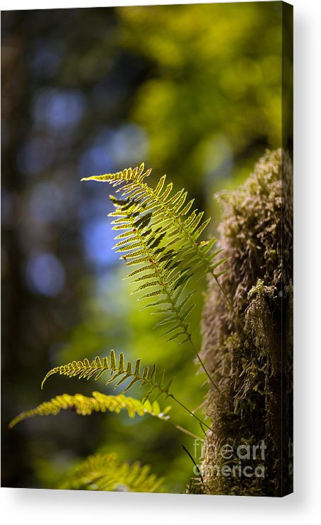 Forest Acrylic Print featuring the photograph Renewal Ferns by Mike Reid