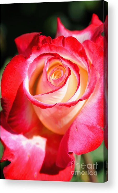 Rose Acrylic Print featuring the photograph Rose by Dennis Hammer