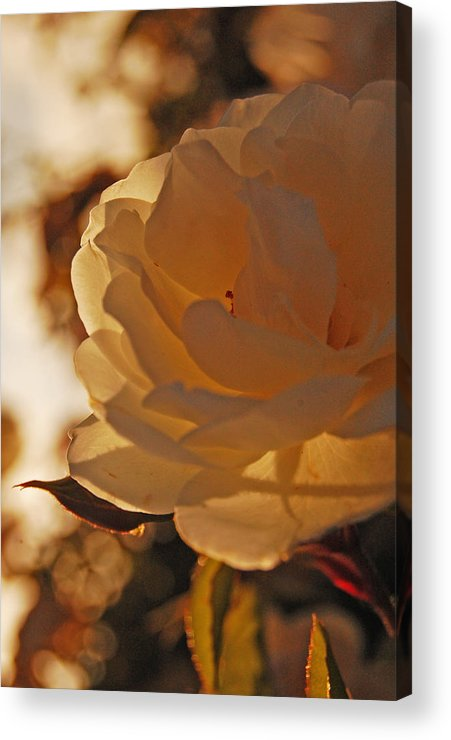 Rose Acrylic Print featuring the photograph Rosy Afternoon 3 by Jean Booth
