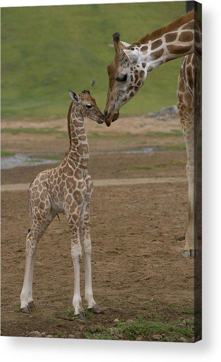 Mp Acrylic Print featuring the photograph Rothschild Giraffe Giraffa by San Diego Zoo