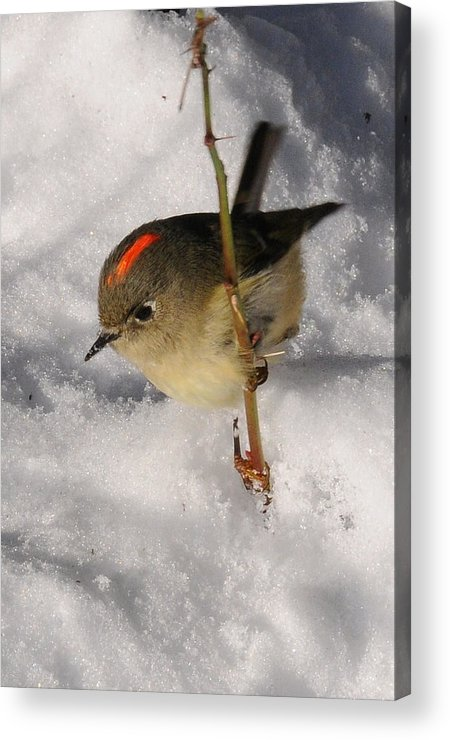 Photography Acrylic Print featuring the photograph Ruby-crowned Kinglet by Joel Brady-Power