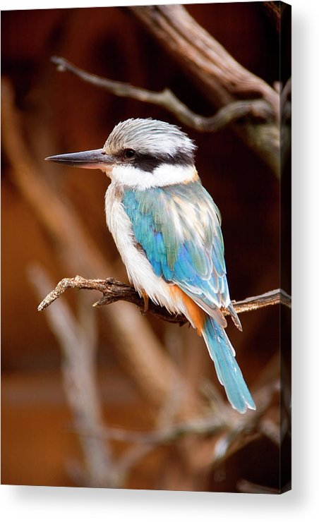 Kingfisher Acrylic Print featuring the photograph Sacred Kingfisher by Mike Dawson
