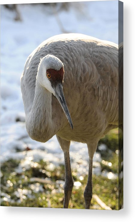 Bird Acrylic Print featuring the photograph Sandhill Crane In Winter by Lawrence Christopher