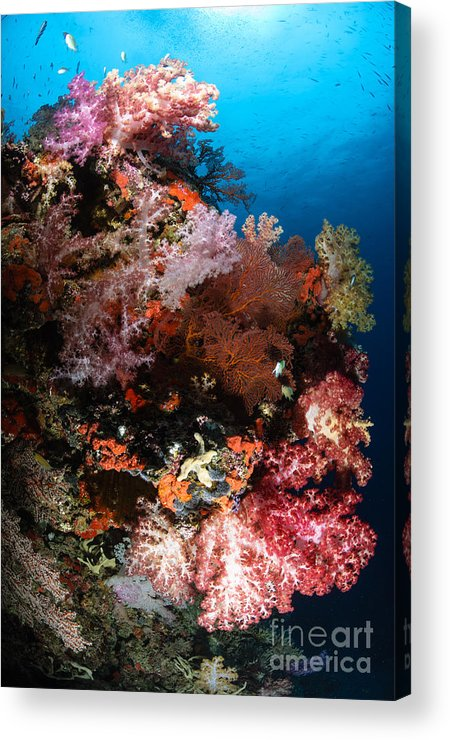 Sea Life Acrylic Print featuring the photograph Sea Fans And Soft Coral, Fiji by Todd Winner